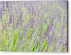 Lavender 1 Acrylic Print by Rob Huntley