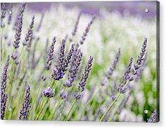 Lavender 3 Acrylic Print