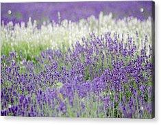 Lavender 4 Acrylic Print by Rob Huntley