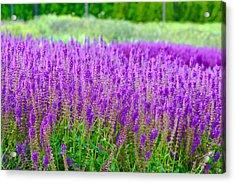 Lavender Acrylic Print by Allan Millora