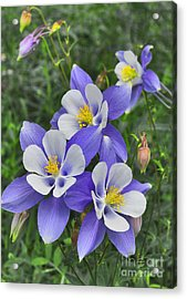 Acrylic Print featuring the digital art Lavender And White Star Flowers by Mae Wertz