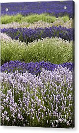 Lavender Bands Acrylic Print by Anne Gilbert