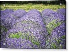 Lavender Blooms Acrylic Print by Vicki Jauron