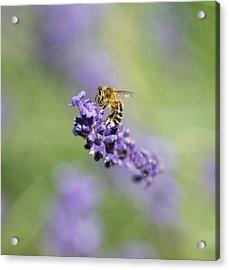 Lavender Buzz Acrylic Print
