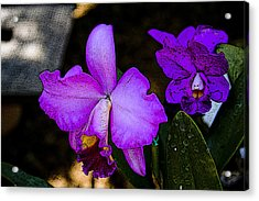 Lavender Catleya Orchid Acrylic Print