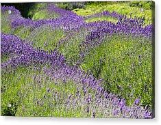 Lavender Day Acrylic Print by Kathy Bassett