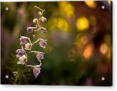 Lavender Delphinium Acrylic Print by Bonnie Bruno