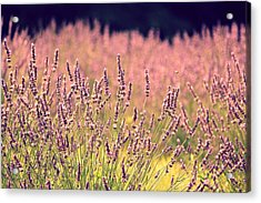 Acrylic Print featuring the photograph Lavender Dreams by Lynn Sprowl
