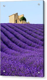 Lavender Field At Sunset Acrylic Print by Republica