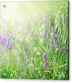 Lavender Field Background Acrylic Print by Mythja  Photography