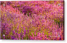 Lavender Fields Acrylic Print by Courtney Trusty