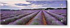 Lavender Fields Acrylic Print by Rod McLean