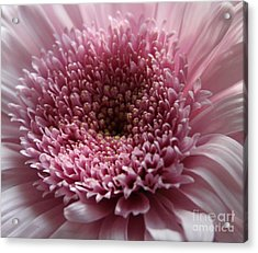 Lavender Gerbera Up Close Acrylic Print by Cathy Lindsey
