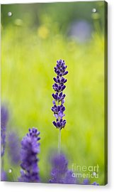Lavender Hidcote Acrylic Print by Tim Gainey