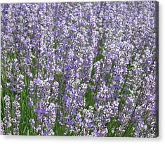 Acrylic Print featuring the photograph Lavender Hues by Pema Hou