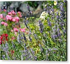 Lavender In Bloom Acrylic Print