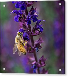 Acrylic Print featuring the photograph Lavender Lady by Rhys Arithson