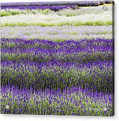Lavender Lines  Acrylic Print by Tim Gainey