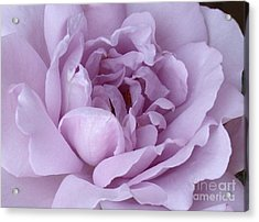 Lavender Rose Chaos Acrylic Print by Paul Clinkunbroomer