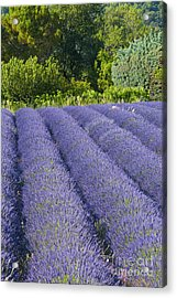 Lavender Rows Acrylic Print by Bob Phillips