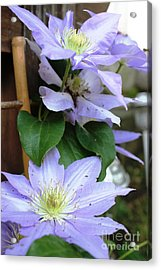 Acrylic Print featuring the photograph Lavender Star by Judy Palkimas