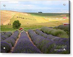 Lavender Valley Acrylic Print by Carol Groenen