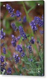 Lavender  Acrylic Print by Zori Minkova