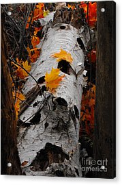 Laying Birch Acrylic Print