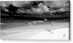 Laysan Albatross French Frigate Shoals Acrylic Print by Paul D Stewart
