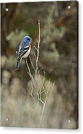 Acrylic Print featuring the photograph Lazuli Bunting by Judi Baker
