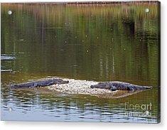 Lazy Alligators Acrylic Print