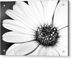Lazy Daisy In Black And White Acrylic Print by Sabrina L Ryan