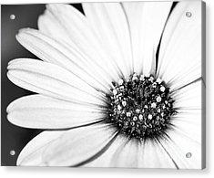 Lazy Daisy In Black And White Acrylic Print by Sabrina L Ryan