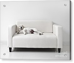 Lazy Dog On The Sofa Acrylic Print by Diane Diederich