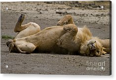 Acrylic Print featuring the photograph Lazy Lion by J L Woody Wooden