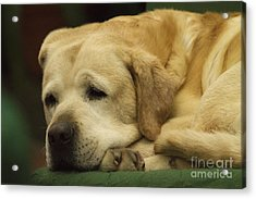 Lazy Pet Series 3 Acrylic Print by Heiko Koehrer-Wagner