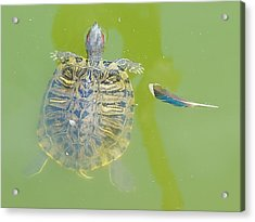 Lazy Summer Afternoon - Floating Turtle Acrylic Print