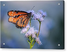 8x10 Metal - Queen Butterfly Acrylic Print by Tam Ryan