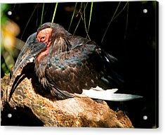 Leadbeaters Ground Hornbill Acrylic Print
