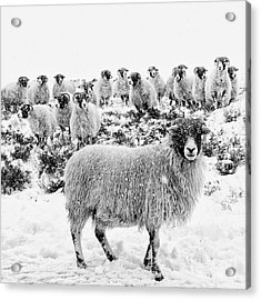 Leader Of The Flock Acrylic Print