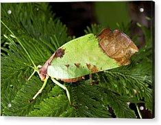 Leaf Mimic Busk Cricket Acrylic Print by Dr Morley Read