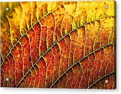 Leaf Rainbow Acrylic Print by Crystal Hoeveler