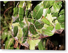 Leaf-stitching Ants Making A Nest Acrylic Print by Tony Camacho