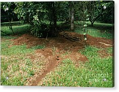 Leafcutter Ant Nest Acrylic Print