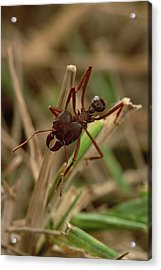 Leafcutter Ant Paraguay Acrylic Print