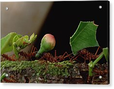 Leafcutter Ants Carrying Leaves French Acrylic Print