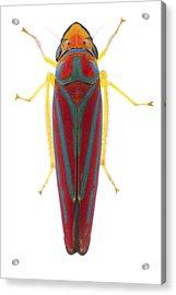 Leafhopper Estabrook Woods Acrylic Print