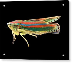 Leafhopper Acrylic Print by Us Geological Survey