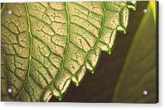 Leaf's Edge Acrylic Print by Jhoy E Meade