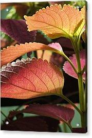 Leafy Plant Acrylic Print by Nelson Watkins